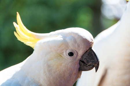 Australian sulphur crested cockatoo bird close up