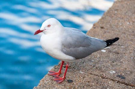 Silver gull, seagull bird sitting near the water edge