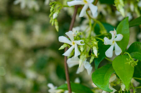 White fragrant Jasmine flower close up. Nature background