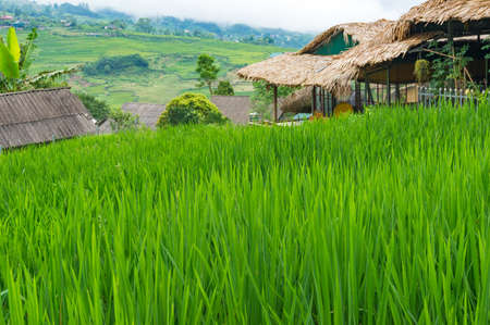 Rice plant leaves on rice paddy with rice terraces on the background. SaPa, Vietnam