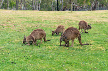 Mob of kangaroos, wallaby grazing on the green grass. Australian wildlife background