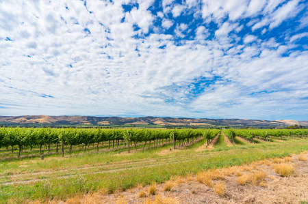 Beautiful panorama landscape of vineyard and picturesque sky. McLaren Vale, South Australia