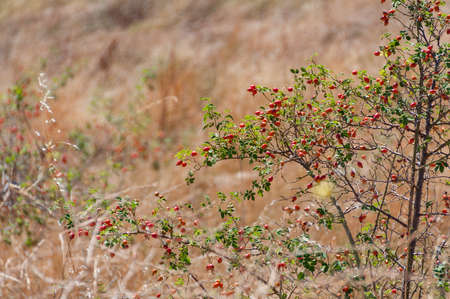 Rose hip, dog rose berries on a bush. Wild plants background
