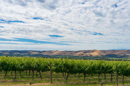 Beautiful landscape of vineyard and picturesque sky. McLaren Vale, South Australia