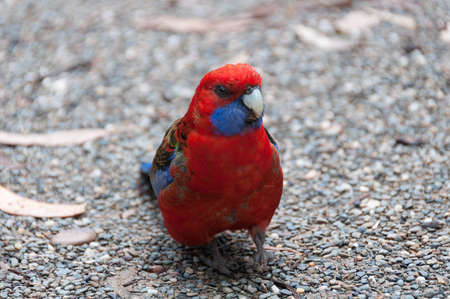 Bright red and blue Crimson Rosella bird close up. Motion blur