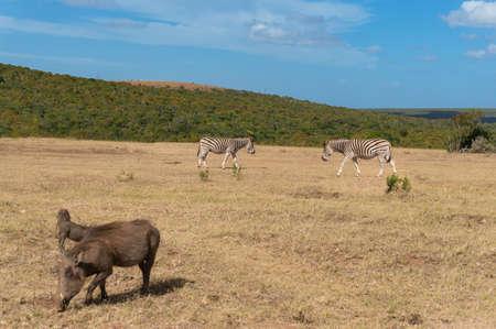 Zebras and warthogs grazing African savannah landscape. Wild game drive, African wildlife safari scene