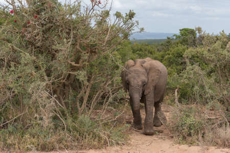 Baby African elephant in the wilderness. Safari game drive in South Africa