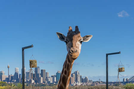 African giraffe with Sydney cityscape on the background. Australia
