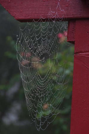Picturesque cobweb with water droplets, drops. Wet cob web on red wooden gate