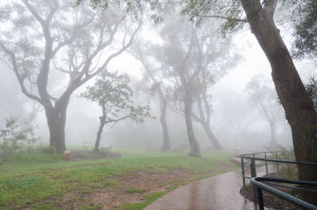 Eucalyptus trees silhouettes in fog, mist in a park with wet alley, path. Wet, rainy weather nature background