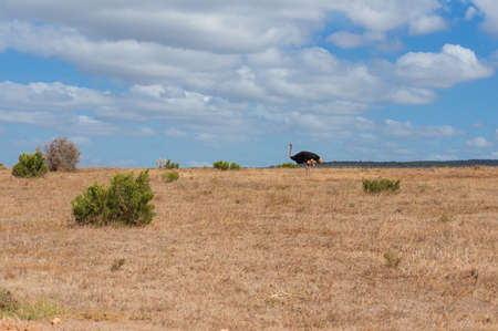 Wild ostrich bird roaming dry arid African savannah on sunny day. Safari game drive in Africa scene nature background