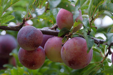 Close up of ripe large October plums surrounded by green leaves on plum tree in fruit orchard on a farm Zdjęcie Seryjne
