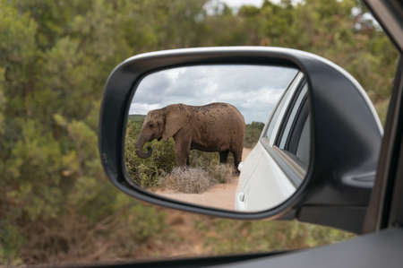 African elephant reflected in rear view mirror. Safari game drive in African wilderness