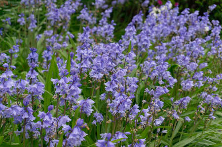 Close up of blue bell flowers on the flower bed in the garden. Spring nature background