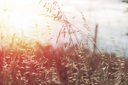 Dry tall field grass swaying on a wind against sunset sunshine on the background