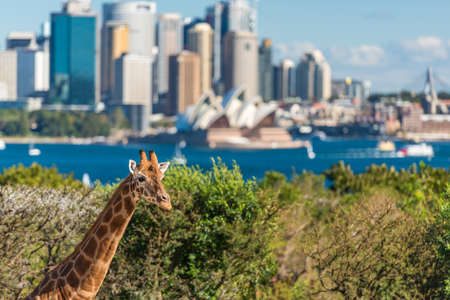 Sydney, Australia - July 23, 2016: Young giraffe against Sydney Central Business District and Sydney Opera House on the background