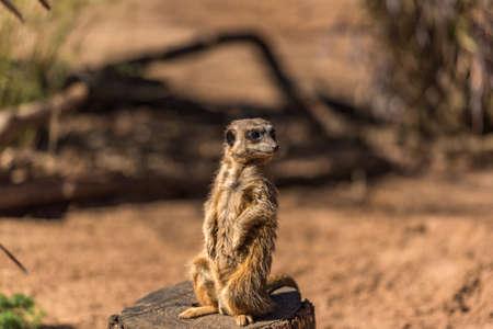 African mongoose, suricate or meerkat standing on alert