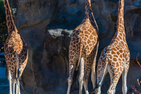 Back view of tree giraffes. Close up of giraffe's skin with spots and mane. African wildlife