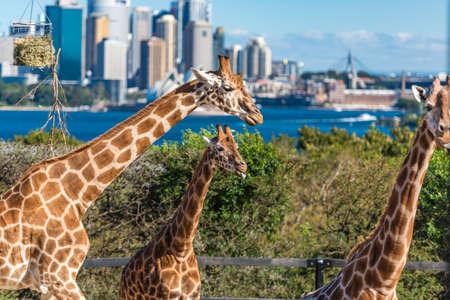 Three giraffes with Sydney skyline on the background. Day shot
