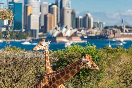 Sydney, Australia - July 23, 2016: Pair of Giraffes posing against Sydney CBD with iconic landmark of Sydney Opera House on the background Редакционное