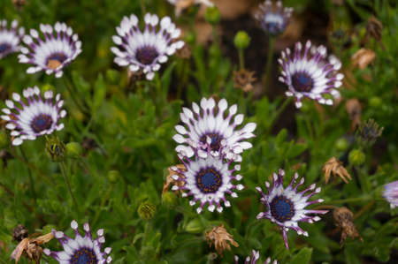 Close up of exotic daisy flowers on flowerbed. Ornamental garden flower plants nature background 版權商用圖片