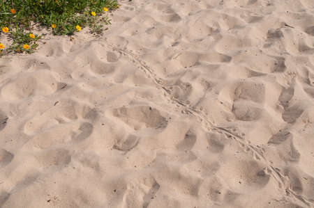 Blue tongue lizard spoor on the sand. Wild reptile footprints on the ground Stockfoto