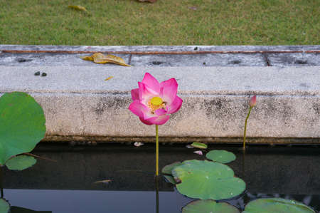 Pink lotus flower in fool bloom with bees in the middle. Blooming water lily in the pond