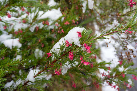 Snow covered bright pink grevillea flower nature background. Australian native flora