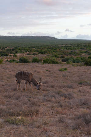 Male kudu antelope with spiral horns grazing in the wild. African safari game drive scene Stock Photo