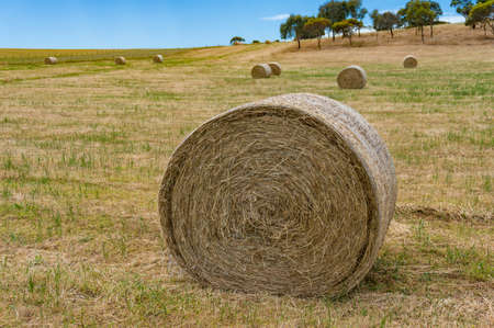 Close up of round straw bale on a field. Agriculture background Stock Photo