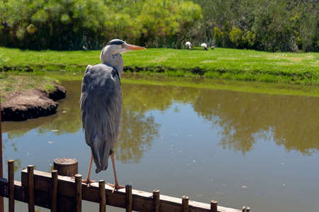 Great Blue Heron bird standing on the fence with water and green lawn on the background Stock Photo