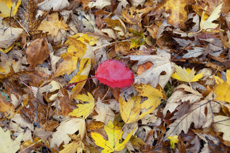 Bright red leaf standing out of yellow leaves on forest floor nature background