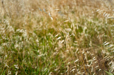 Close up of dry yellow grass on field. Nature background Stock Photo