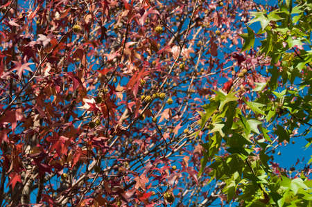 Bright and vivid red and green autumn foliage background against blue sky