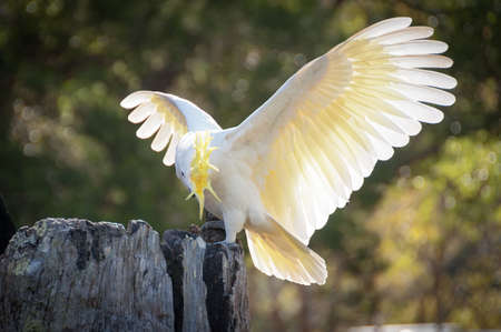 Beautiful sulphur-crested cockatoo showing off its yellow crest and wings with beautiful white feathers Stock Photo