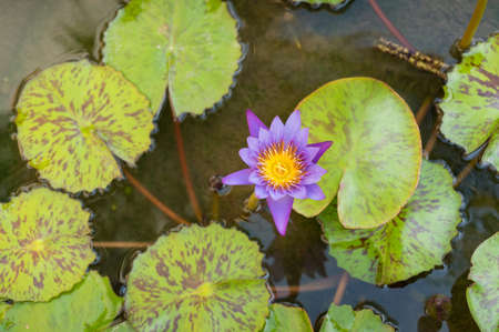 Top view of purple lotus flower floating in the pond. Blooming water lily