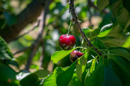 Close up of ripe red cherry hanging on cherry tree in fruit orchard, garden. Farm fresh food growing naturally