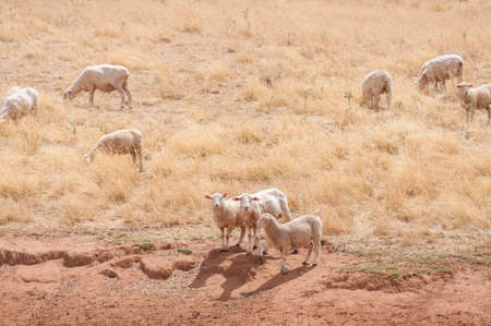 Sheered Australian merino sheep on a paddock with yellow dry grass and baked ground. Drought in NSW, Australia Stock Photo