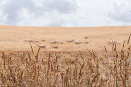 Agriculture background of dry grass and blurred sheep flock on the background. Livestock paddock landscape. Selective focus on dry grass, shallow DOF
