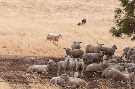 Countryside landscape with flock of sheered sheep resting in shade. NSW, Australia