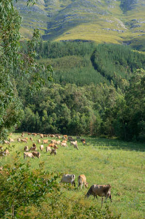 Herd of brown jersey cows grazing the paddock near the forest