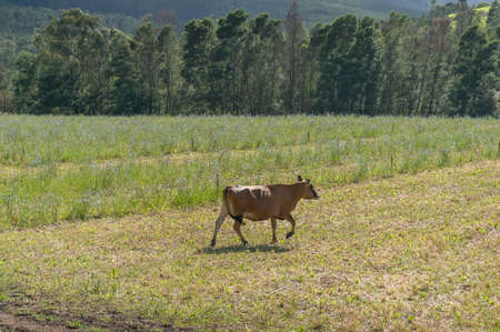 Brown cow running in the grassy paddock.