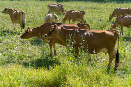 Cure jersey cows herd grazing on a lush green paddock. Dairy cows on a apsture. Agriculture livestock scene Reklamní fotografie