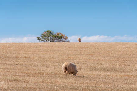Sheep grazing dry and lifeless grass on paddock. Drought scene. Impact of global warming on agriculture and livestock
