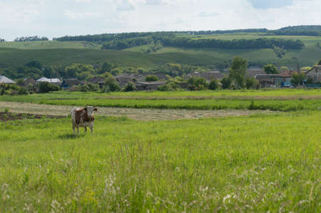 Cute milking cow grazing on a paddock with village on the background. Countryside farming scene
