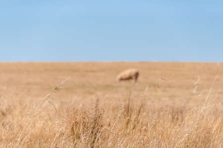 Close up of dry grass with sheep on dry paddock on the background. Countryside drought landscape agriculture scene. Selective focus on foreground, shallow DOF