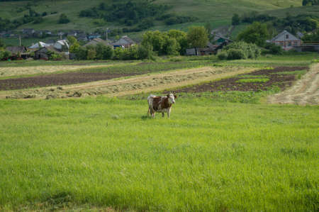 Horned milk cow on green pasture with village on the background. Summer rural pastoral scene