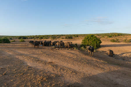 Herd of wild buffaloes at waterhole in Africa. Safari game drive in South Africa Stockfoto - 130058398