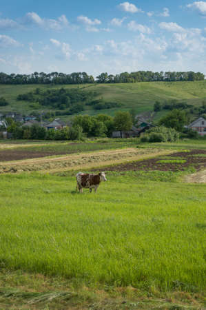 Rural landscape with horned cow on green pasture in countryside. Village background