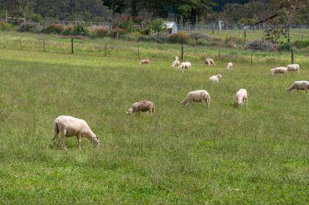 Flock of sheep grazing on green grass paddock in Australian countryside